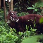 Saola- one of the world's rarest mammals