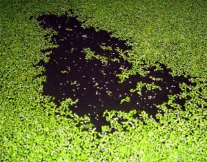 Using Duckweed For Biofuel Production